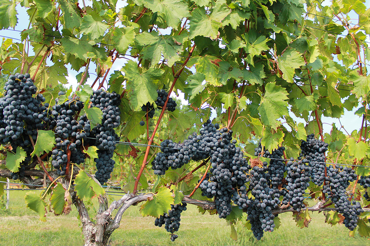 Chambourcin grapes at Silk Hope Winery.