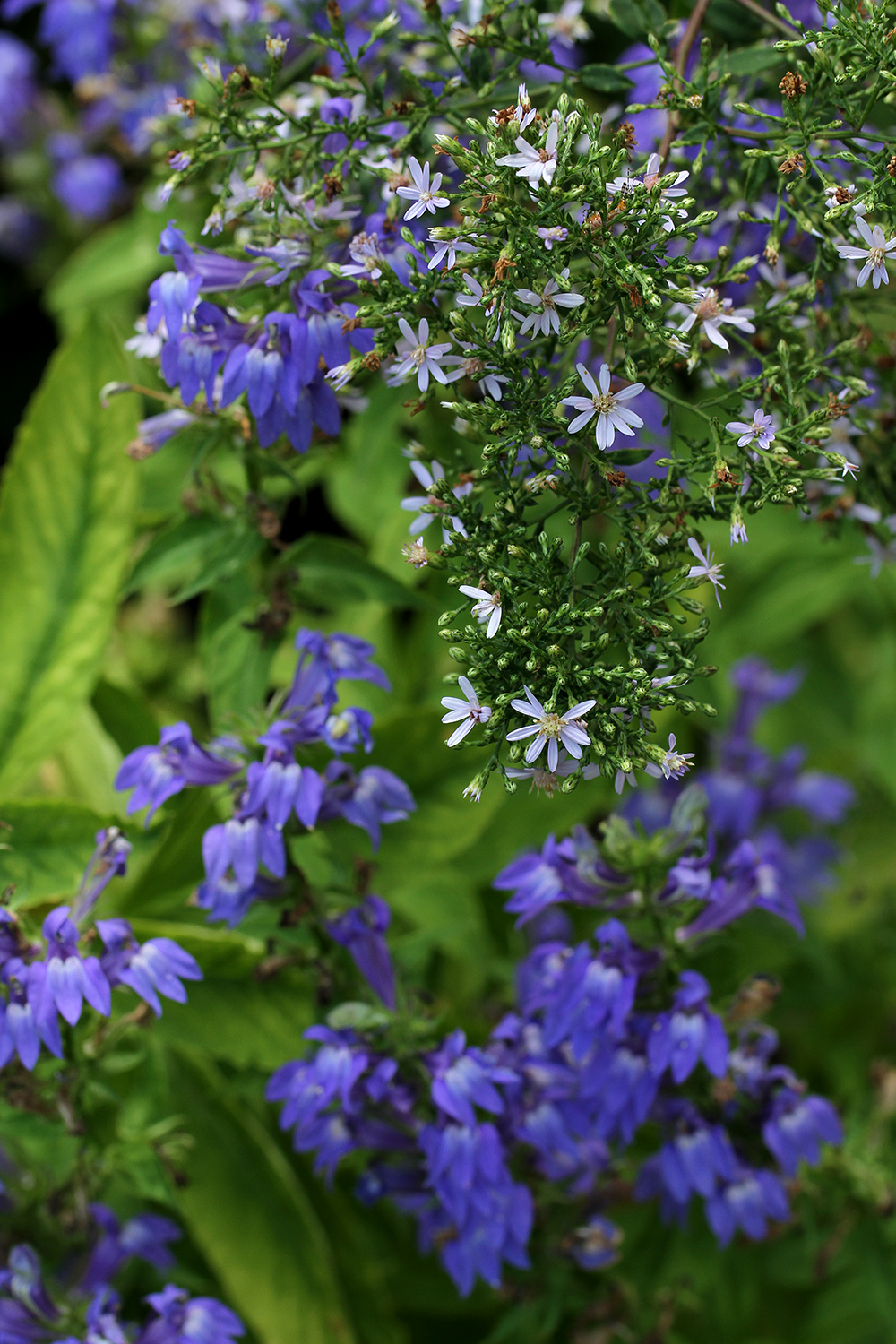 Delicate blue wood aster and great blue lobelia brighten a partially shady corner.