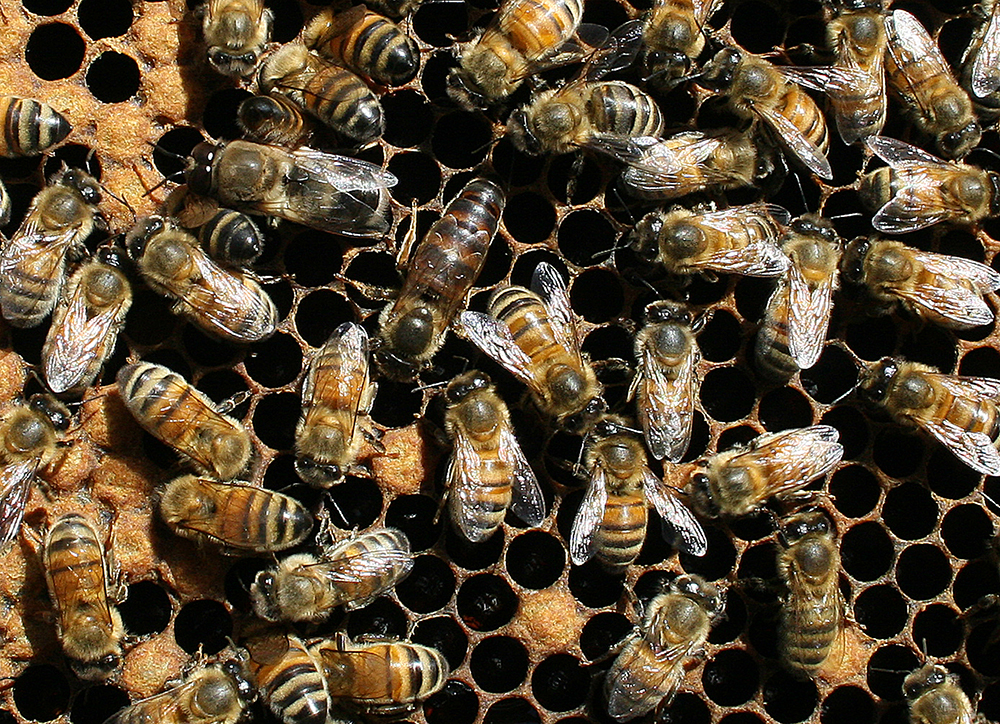 Queen honey bee with workers.