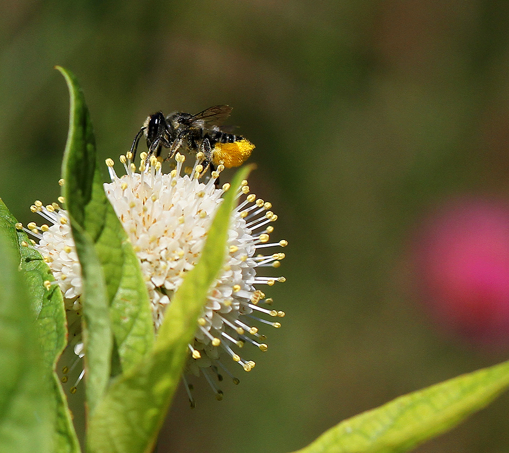 The leafcutter bees were busy foraging on the buttonbush today.