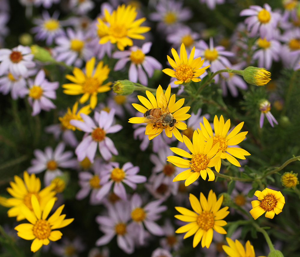 Honey bee on Maryland golden aster with stiffleaf aster.