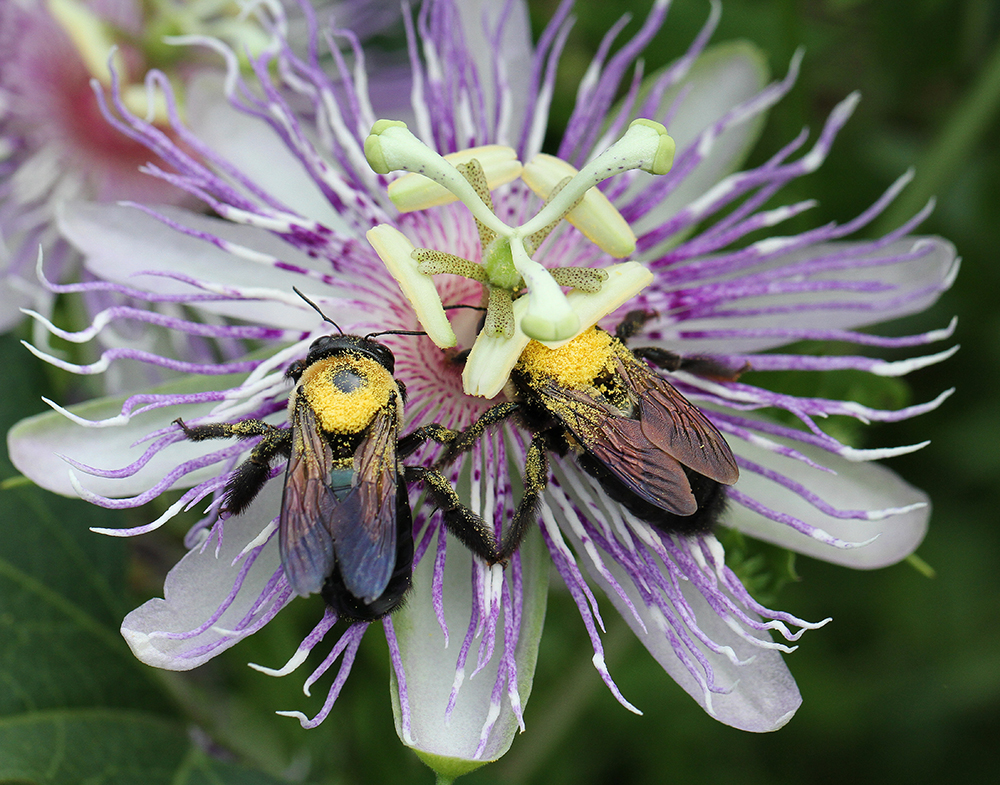 Carpenter bees on native purple passionflower vine.