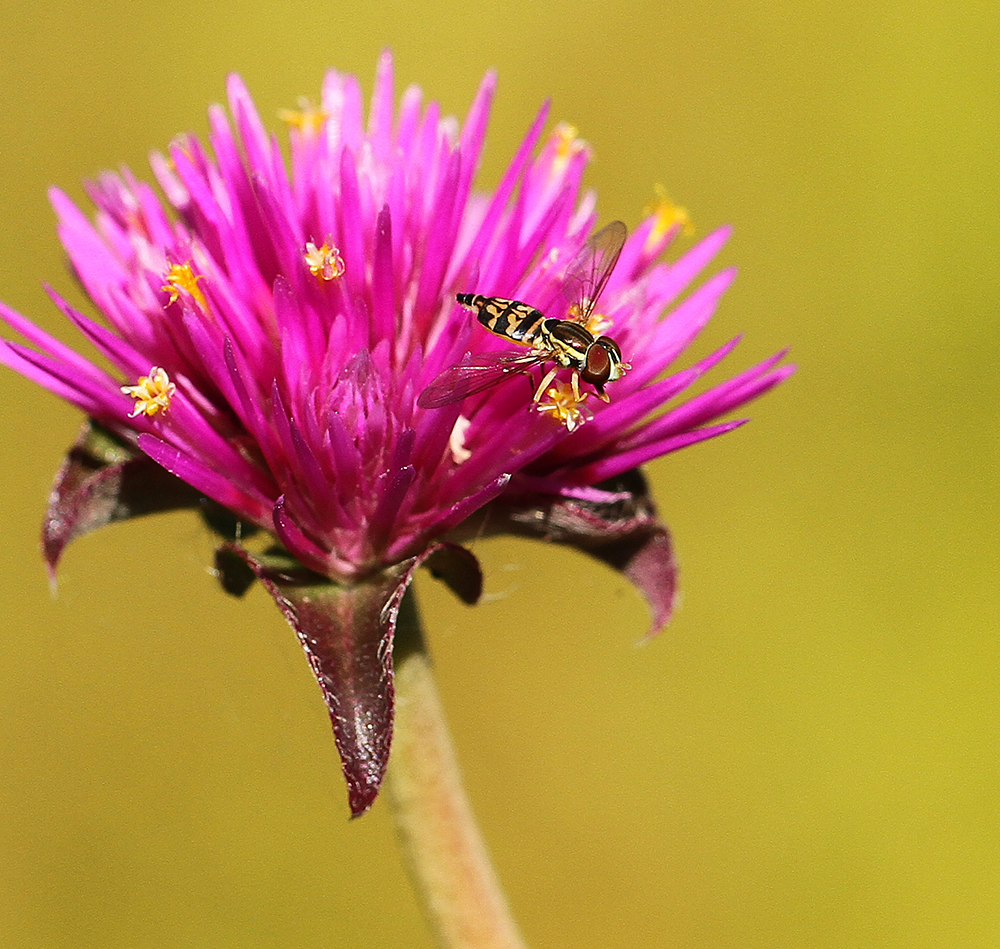 Syrphid fly on 'Fireworks' gomphrena.
