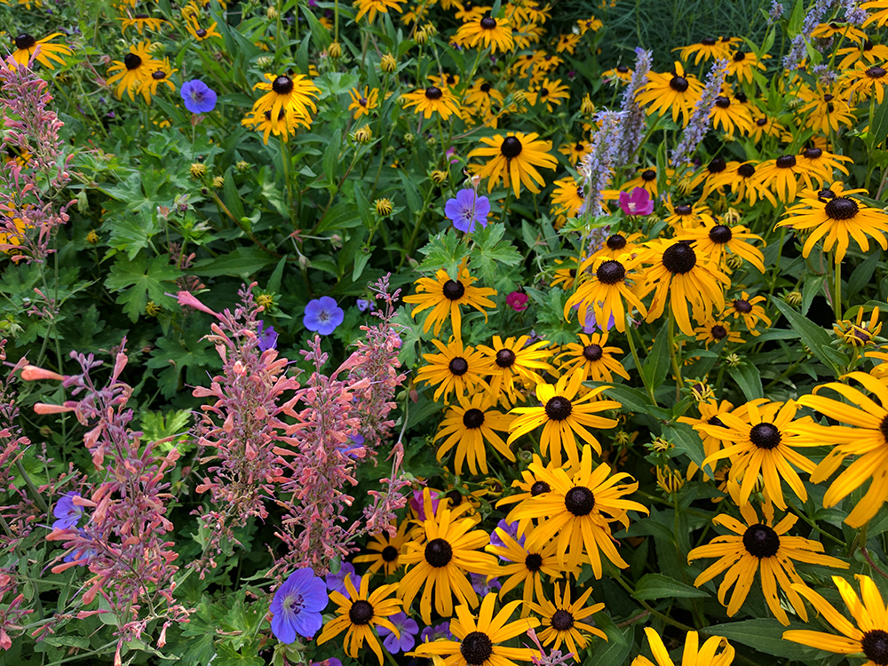 Orange coneflower, Mexican giant hyssop, anise hyssop, hardy geranium, and poppy mallow!