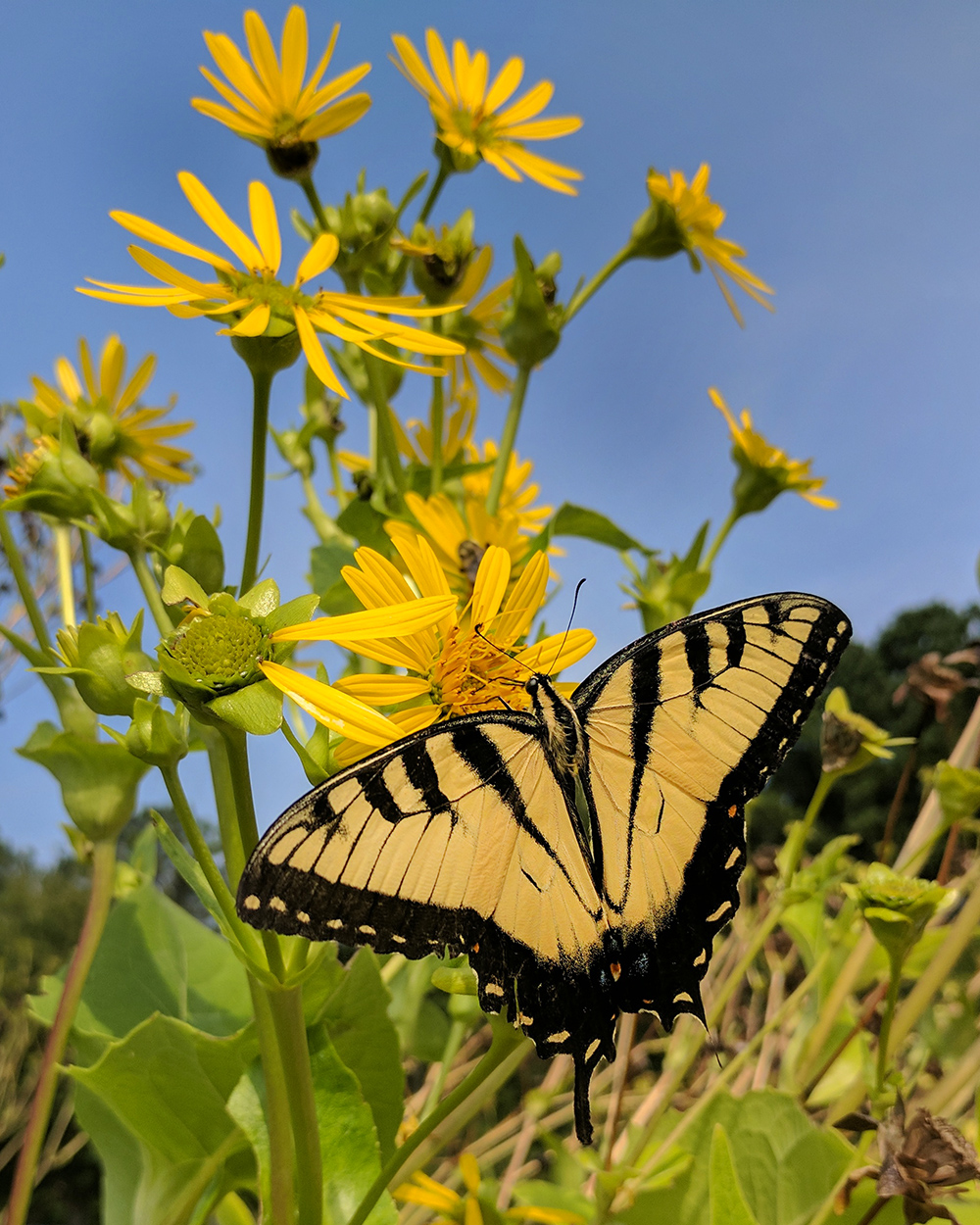 Eastern tiger swallowtail on cup plant (Silphium perfoliatum).