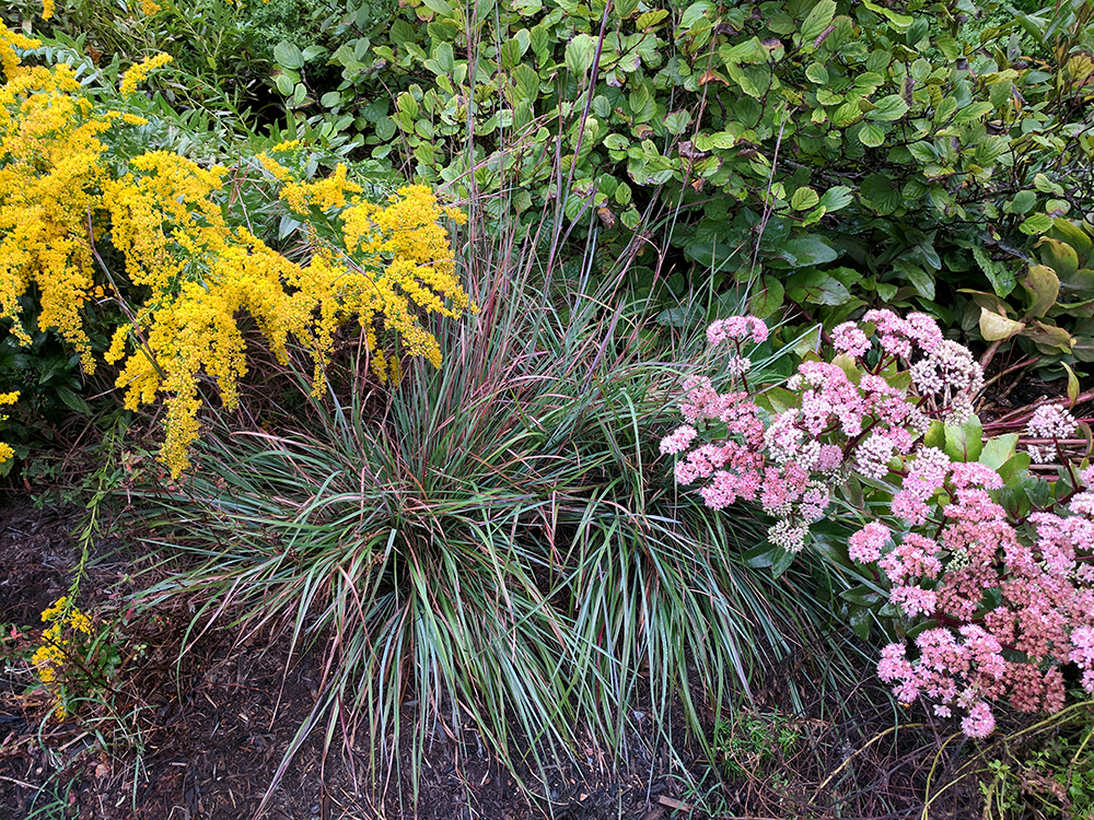 Late summer vignette: goldenrod, little bluestem, and sedum.