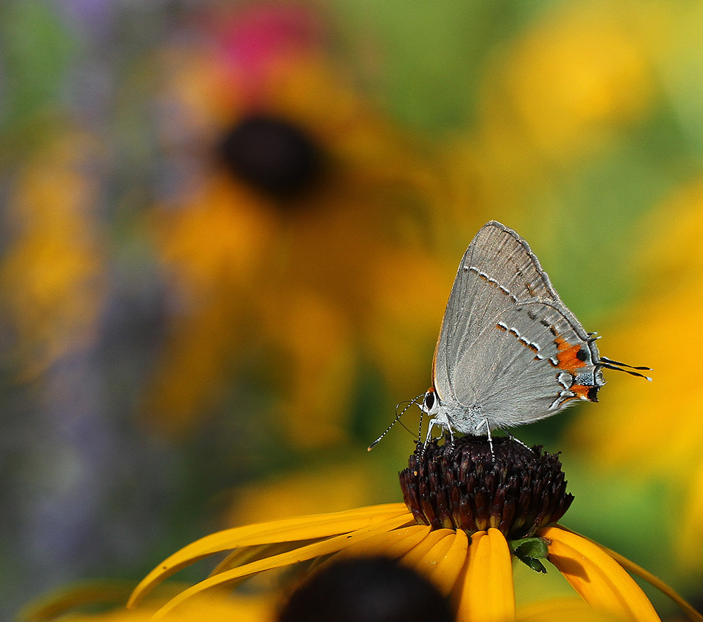 Gray hairstreak on orange coneflower (Rudbeckia fulgida).