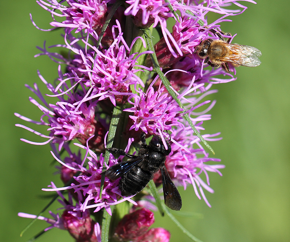 Carpenter-mimic leafcutter bee and a honey bee on blazing star (Liatris spicata).