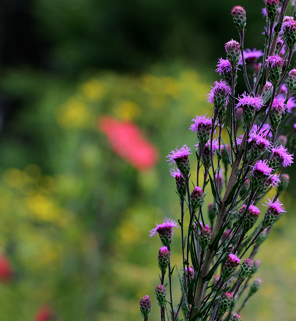 The blazing star (Liatris ligulistylis) is one of my very favorites!