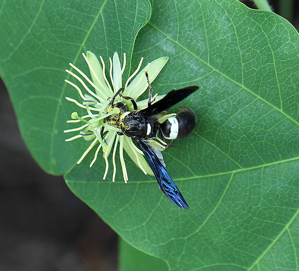 Mason wasp sipping nectar from the bloom of a yellow passionflower (Passiflora lutea).