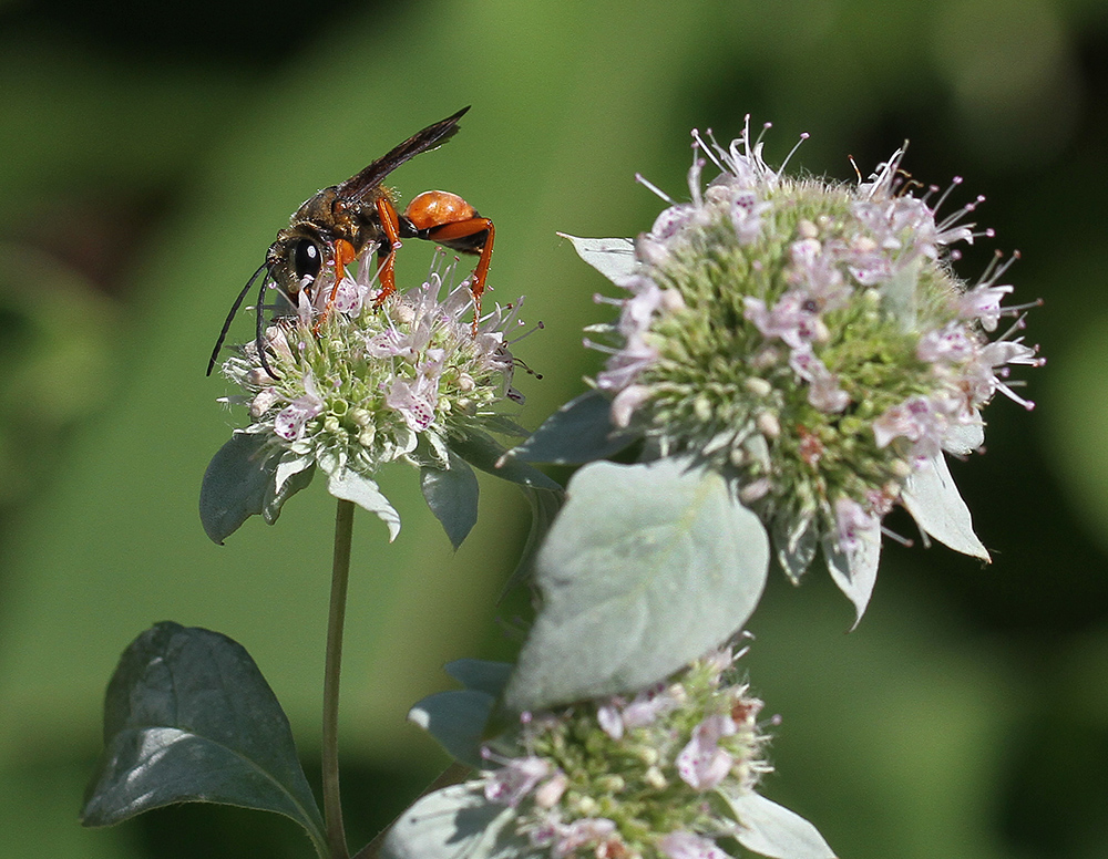 Great golden digger wasp on southern mountain mint (Pycnanthemum pycnanthemoides).