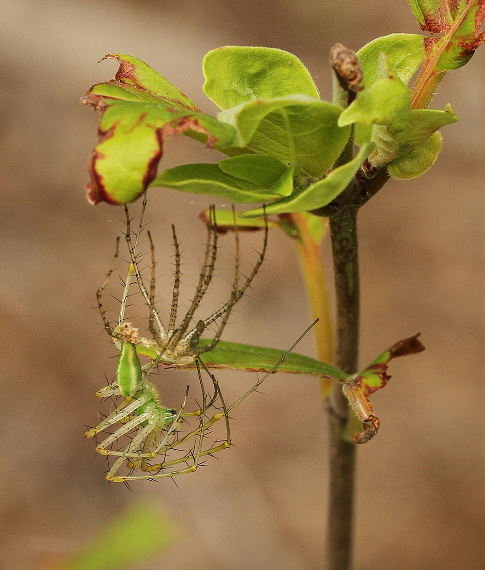 A freshly molted green lynx spider on a buttonbush.