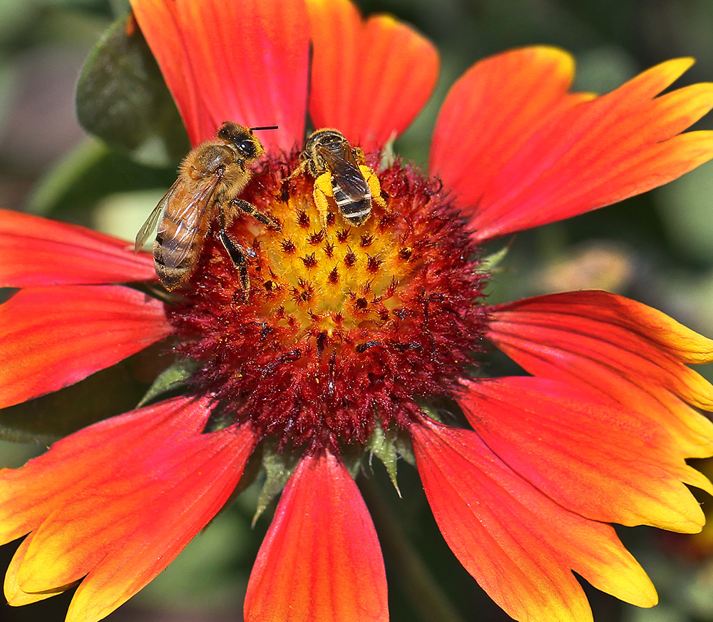 A honey bee and a sweat bee enjoy the offerings of a lanceleaf blankeflower.