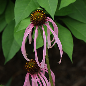 Pale purple coneflower