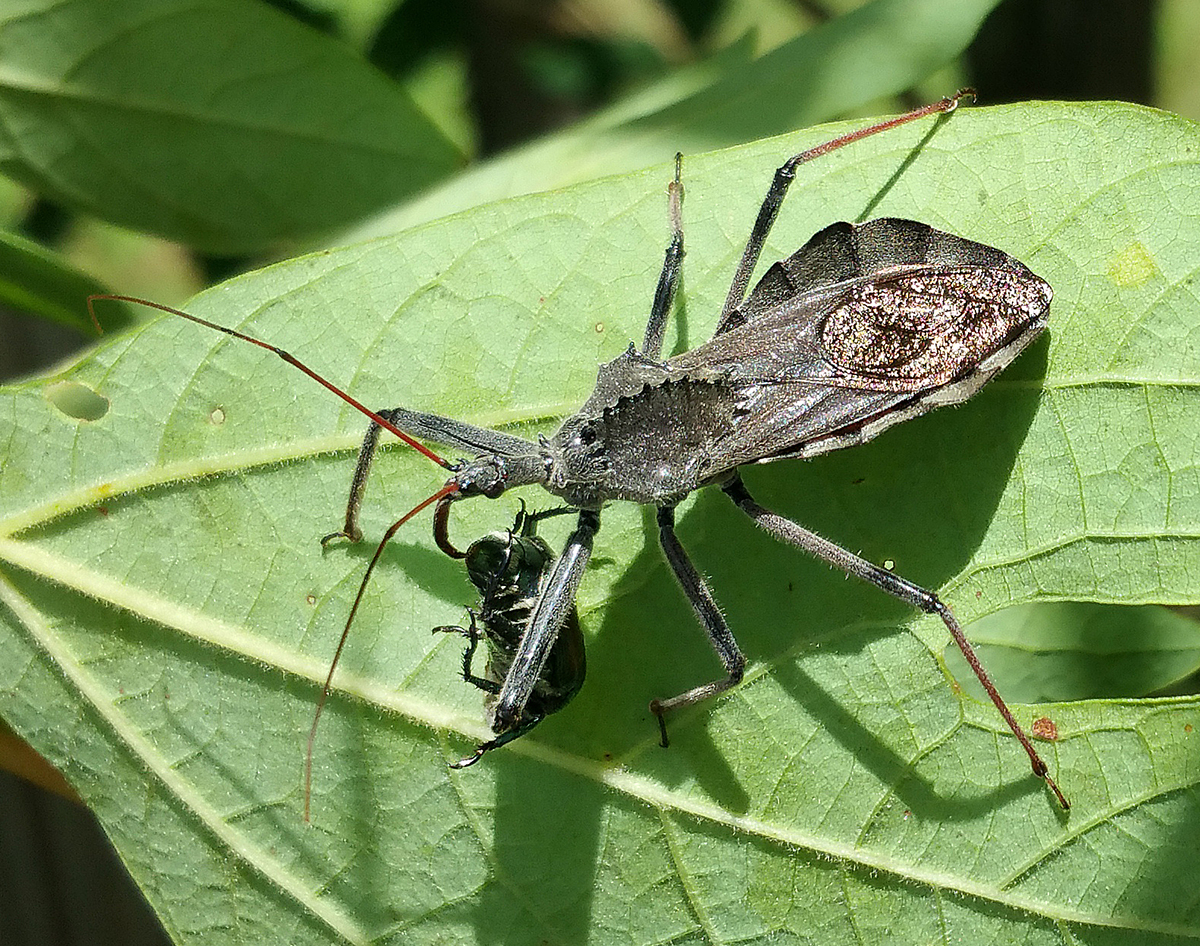 Adult wheel bug feeding on a Japanese beetle.