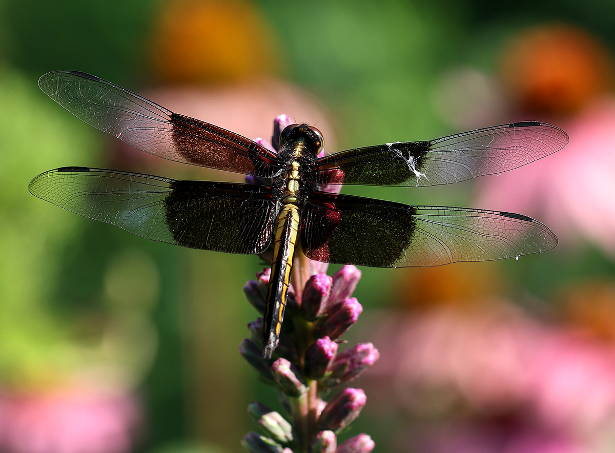 Female widow skimmer on blazing star.