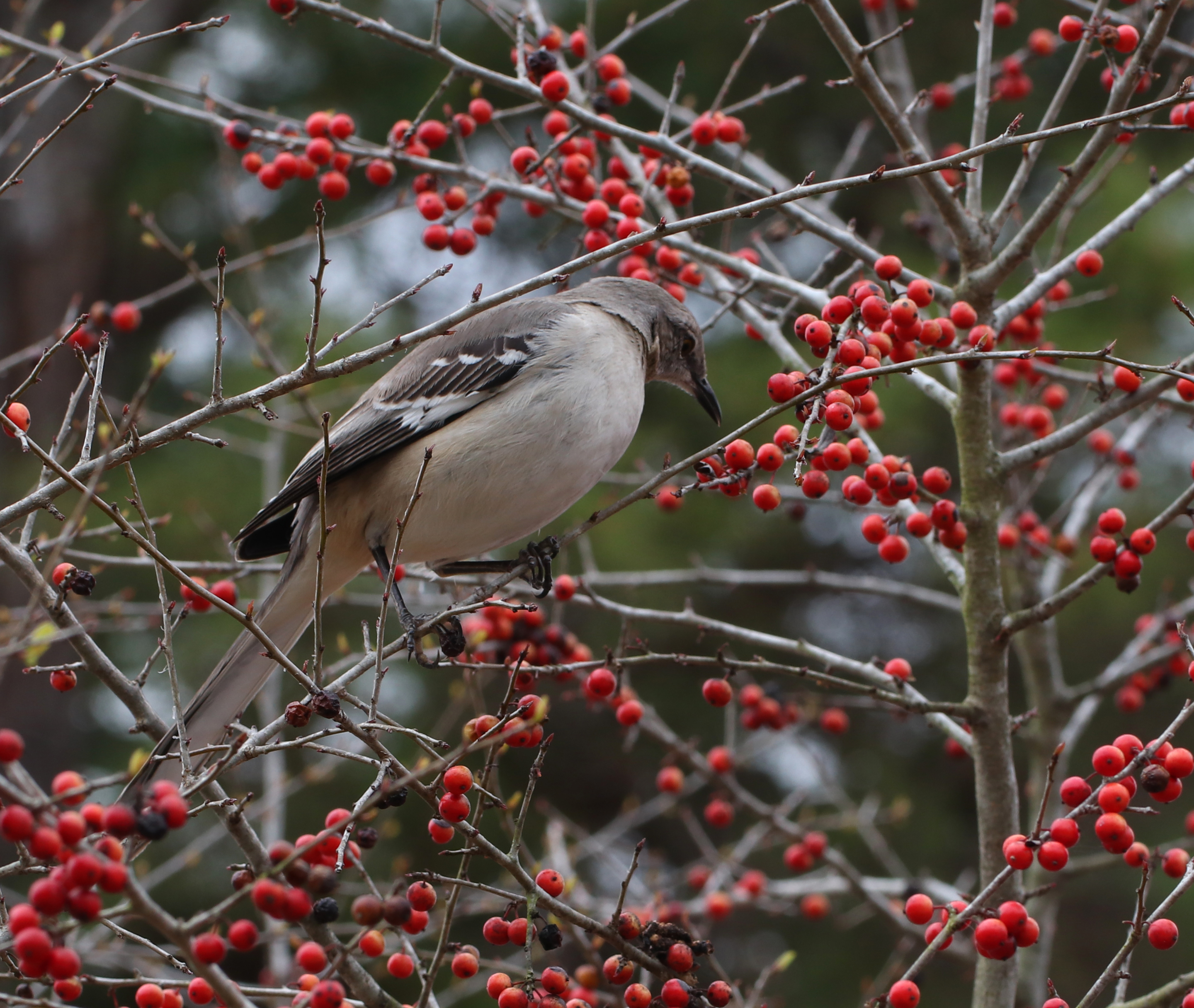 Mockingbird snacking on possumhaw berries in early spring.