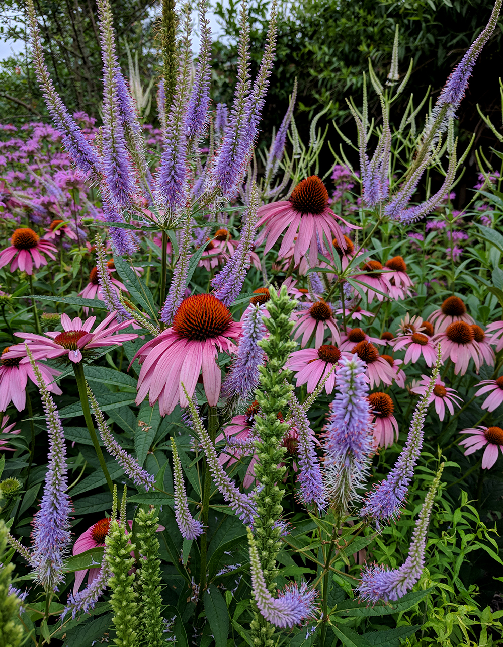 A little corner of my Pollinator Paradise: coneflowers, culver's root, and bee balm.