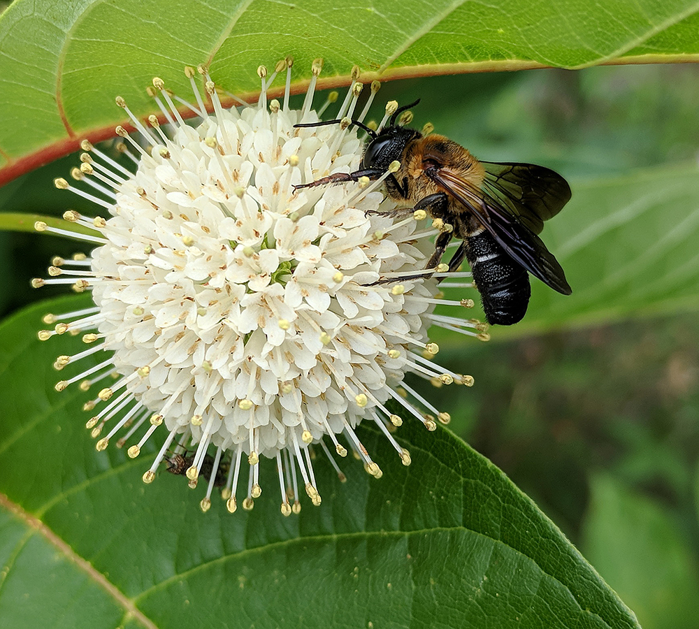 Non-native sculptured resin bee on buttonbush.