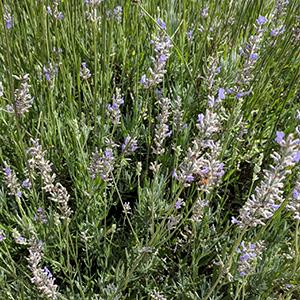 'Grosso' lavender