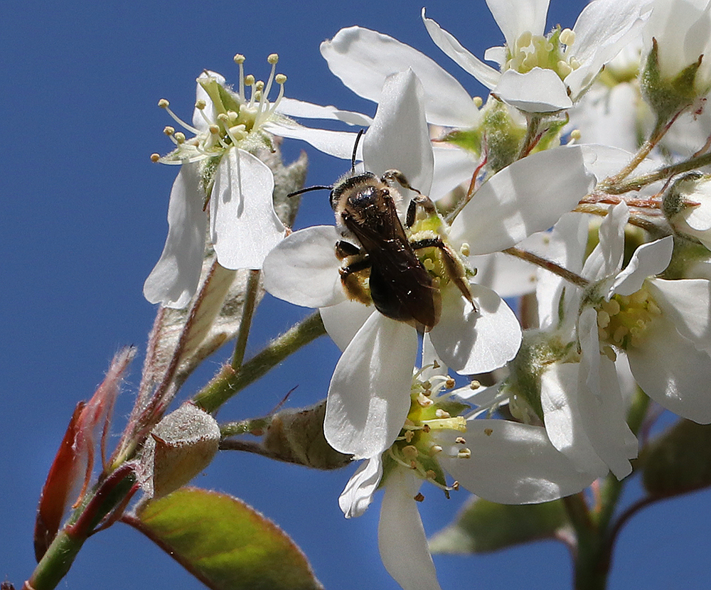 Mining bee foraging on apple serviceberry in mid-April.