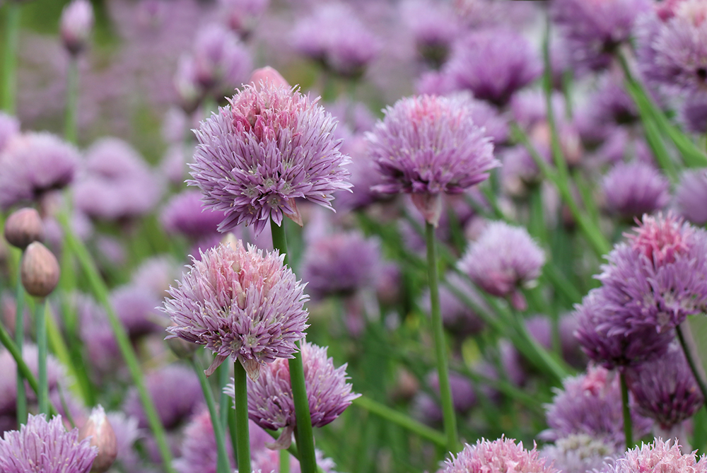 The chives are gorgeous at peak bloom in late April.