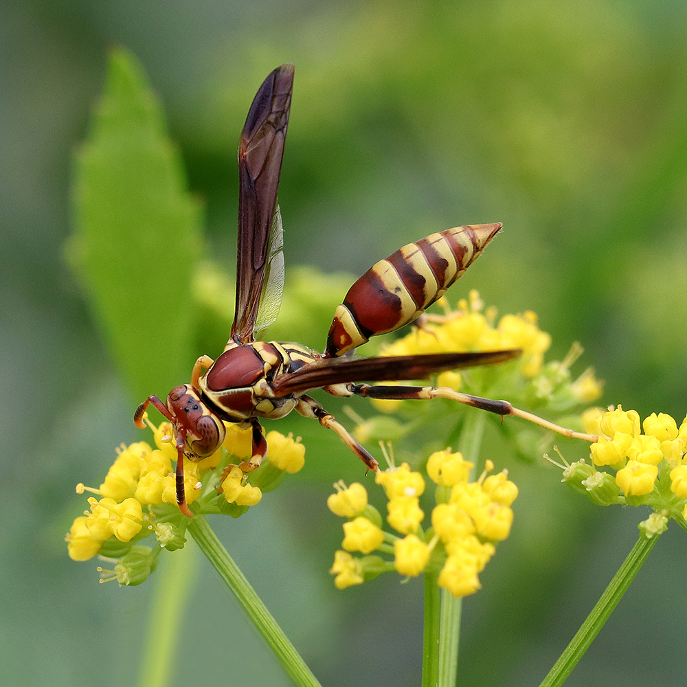 Paper wasp foraging on golden alexander in early May.