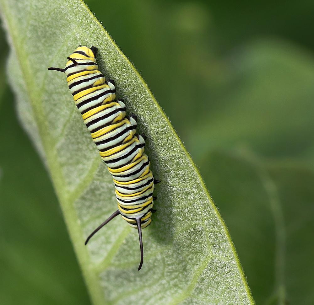 Monarch caterpillar on redring milkweed