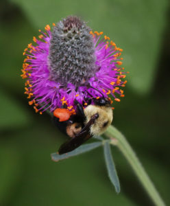 Bumble bee on purple prairie clover.