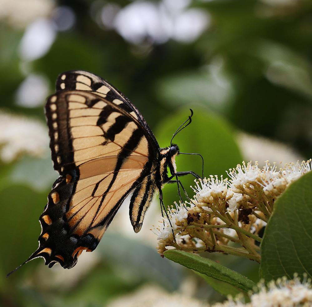 Tiger swallowtail on possumhaw (Viburnum nudum).