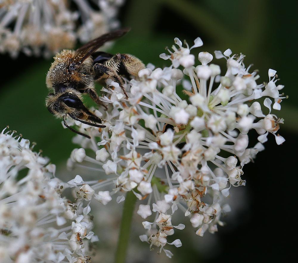 Mining bee on New Jersey tea.