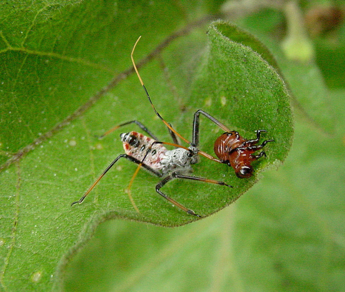 Wheel bug nymph feeding on a Colorado potato beetle larva.