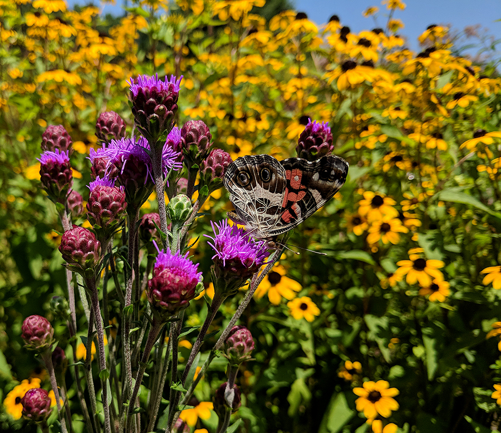 American lady butterfly on blazing star (Liatris ligulistylus).