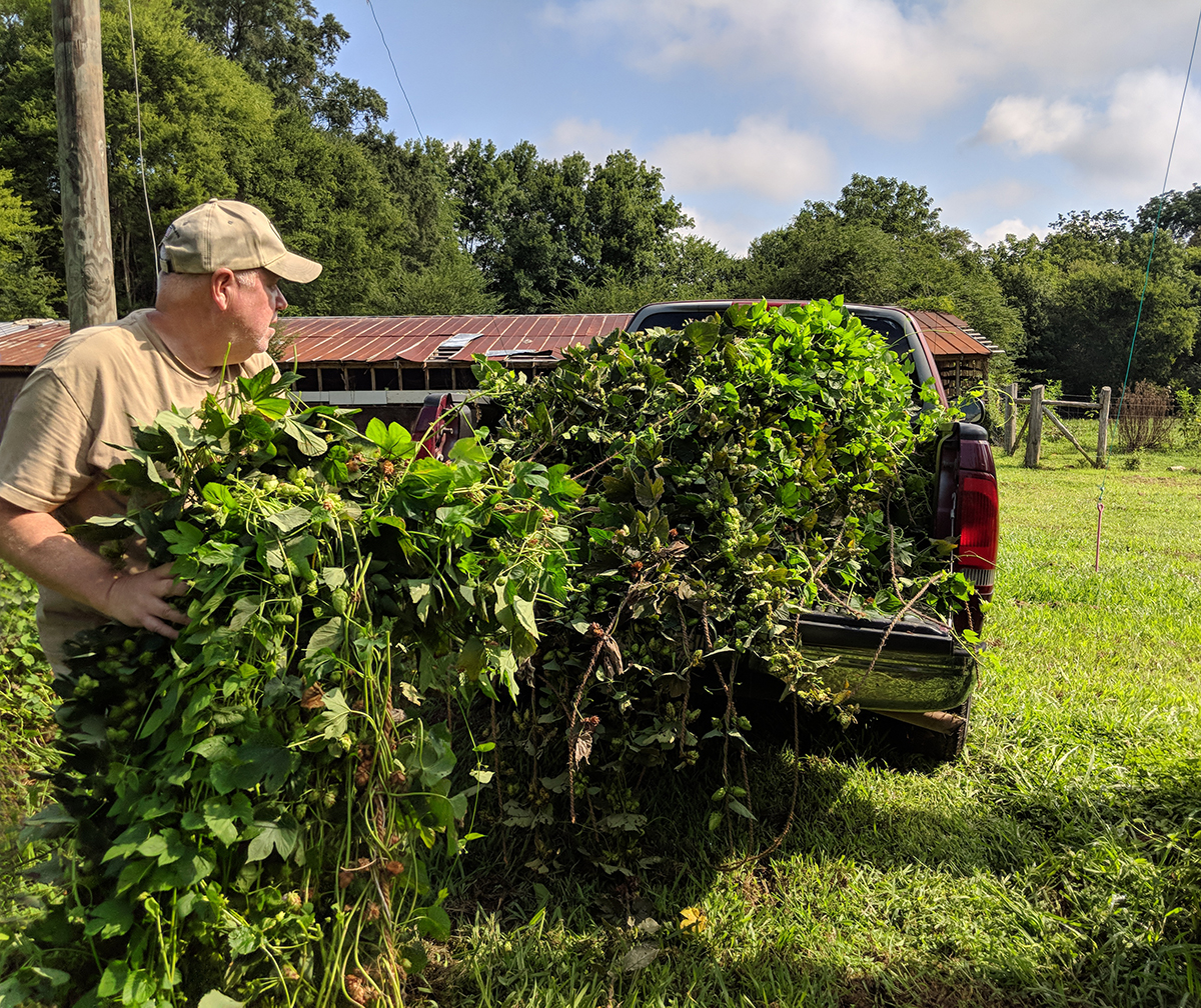 Tiffany's husband Rick tosses cut bines into the truck to take to the shaded area for harvesting.