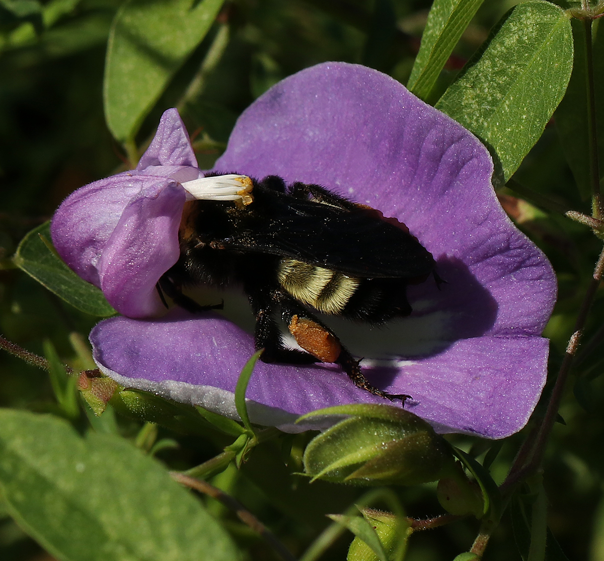 American bumble bee on spurred butterfly pea (Centrosema virginianum).