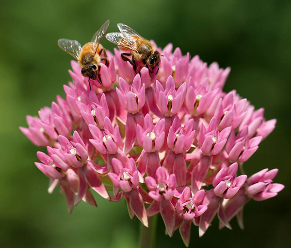 Honey bees on red milkweed
