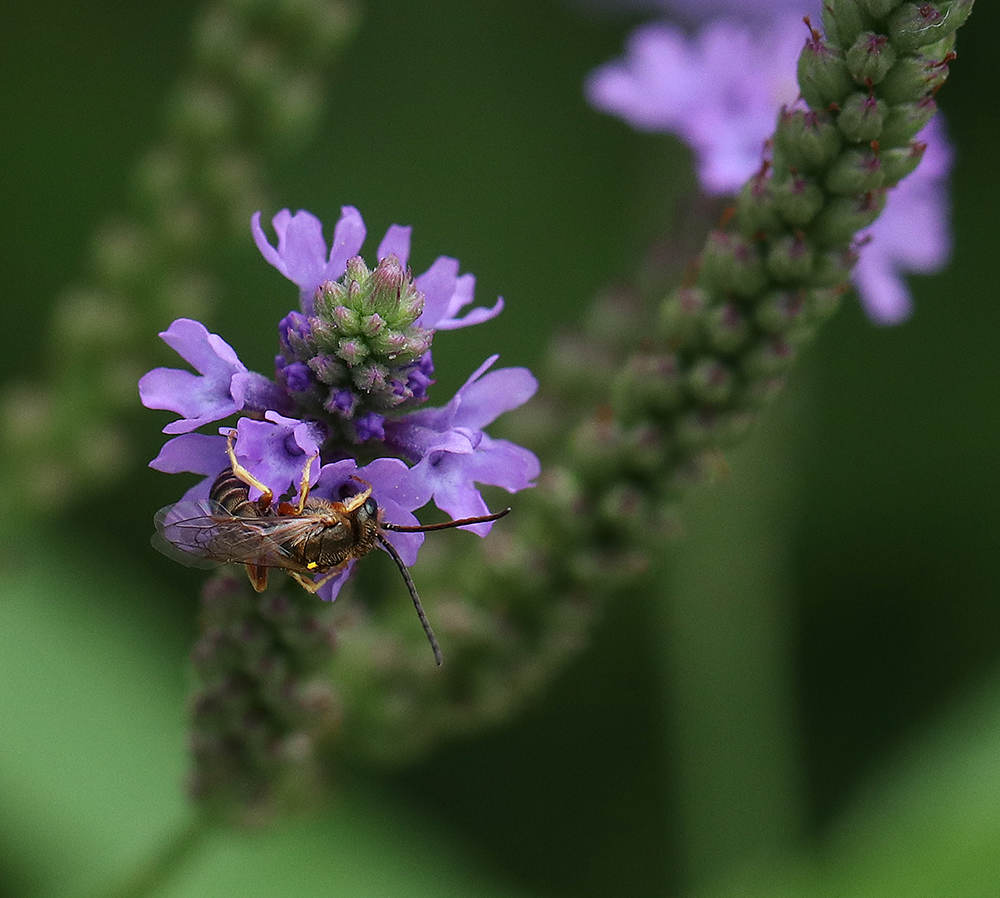 Small bees like this sweat bee like the tiny flowers of blue vervain (Verbena hastata).