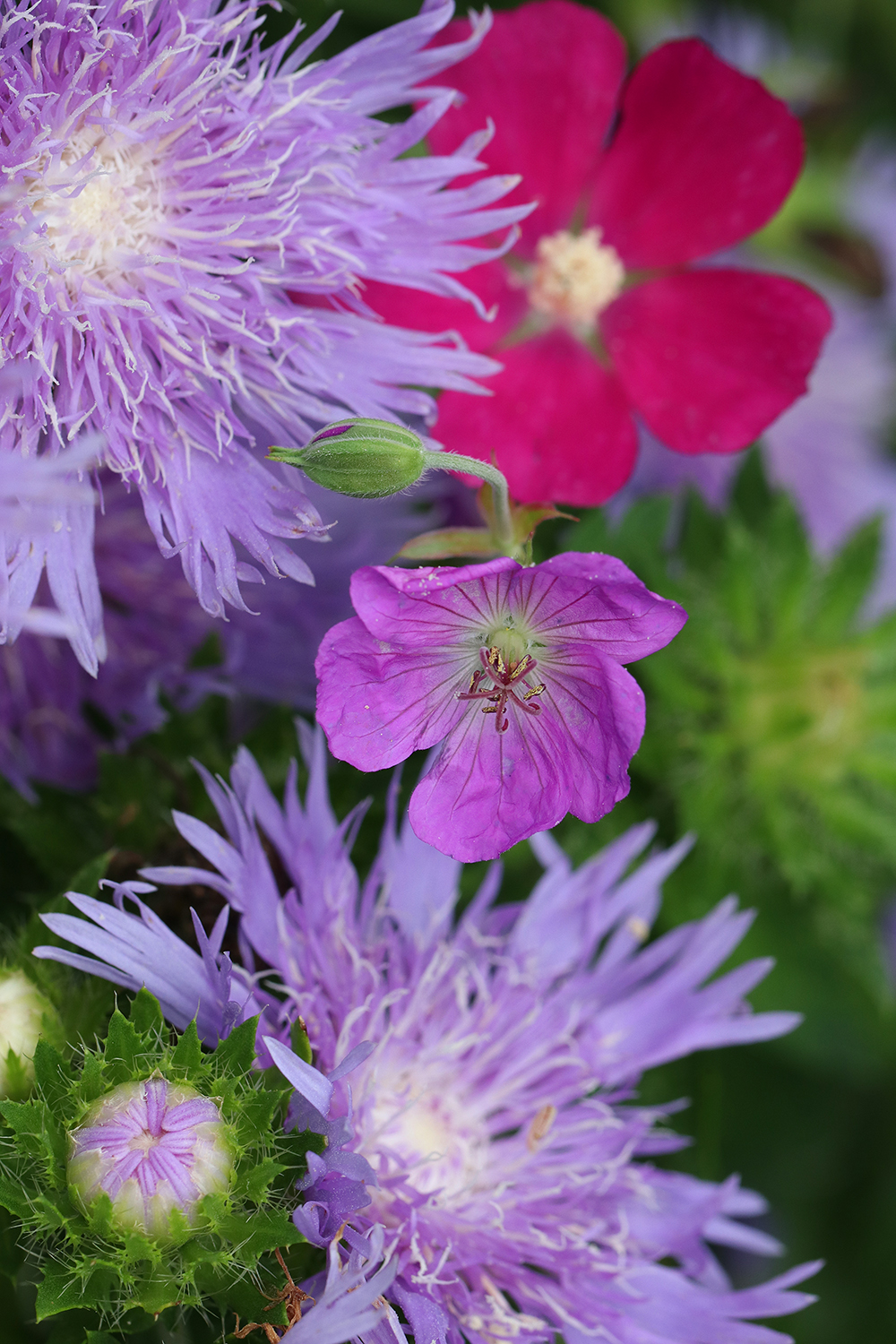 Stoke's aster, poppy mallow, and geranium in the pollinator garden.