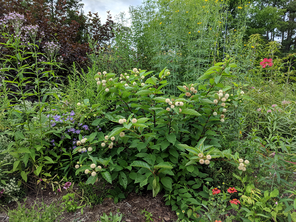 Buttonbush with other perennials in late June.