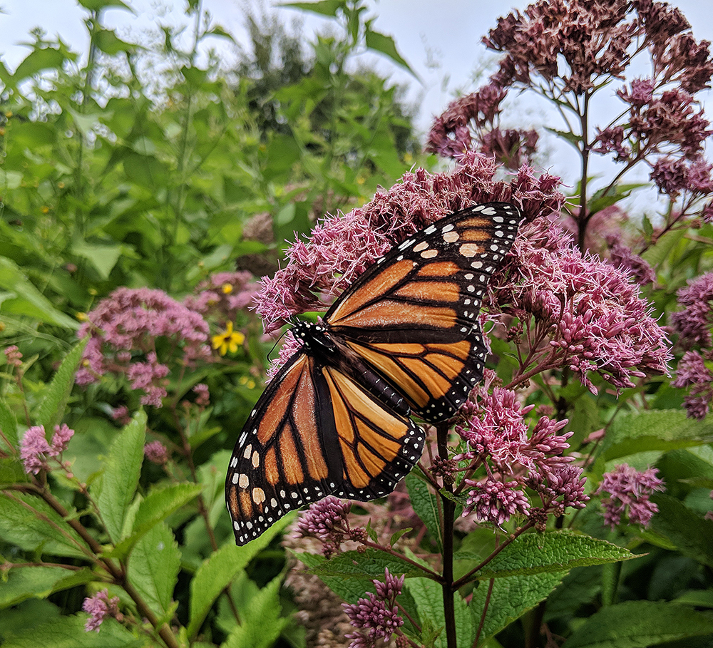 This soggy monarch was ejoying the joe-pye weed alongside some black swallowtails.