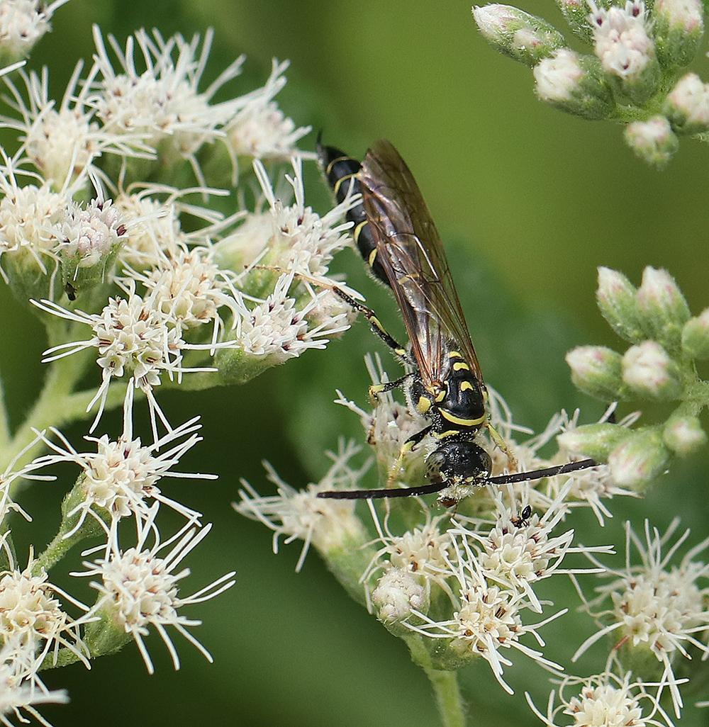 a five-banded thynnid wasp (Myzinum quinquecinctum) on boneset (Eupatorium perfoliatum).