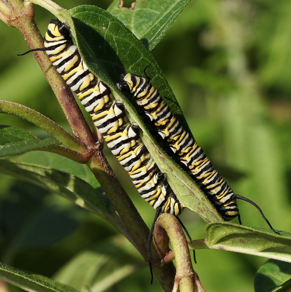 Double decker monarch caterpillars on swamp milkweed (Asclepias incarnata) in mid-August.