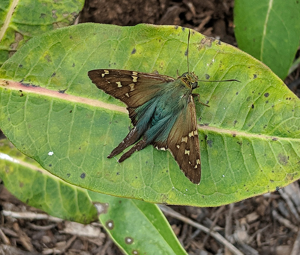 Long-tailed skipper on native purple milkweed in early November.