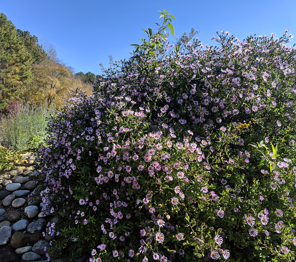 Late November view of a climbing aster vine planted as a shrub.