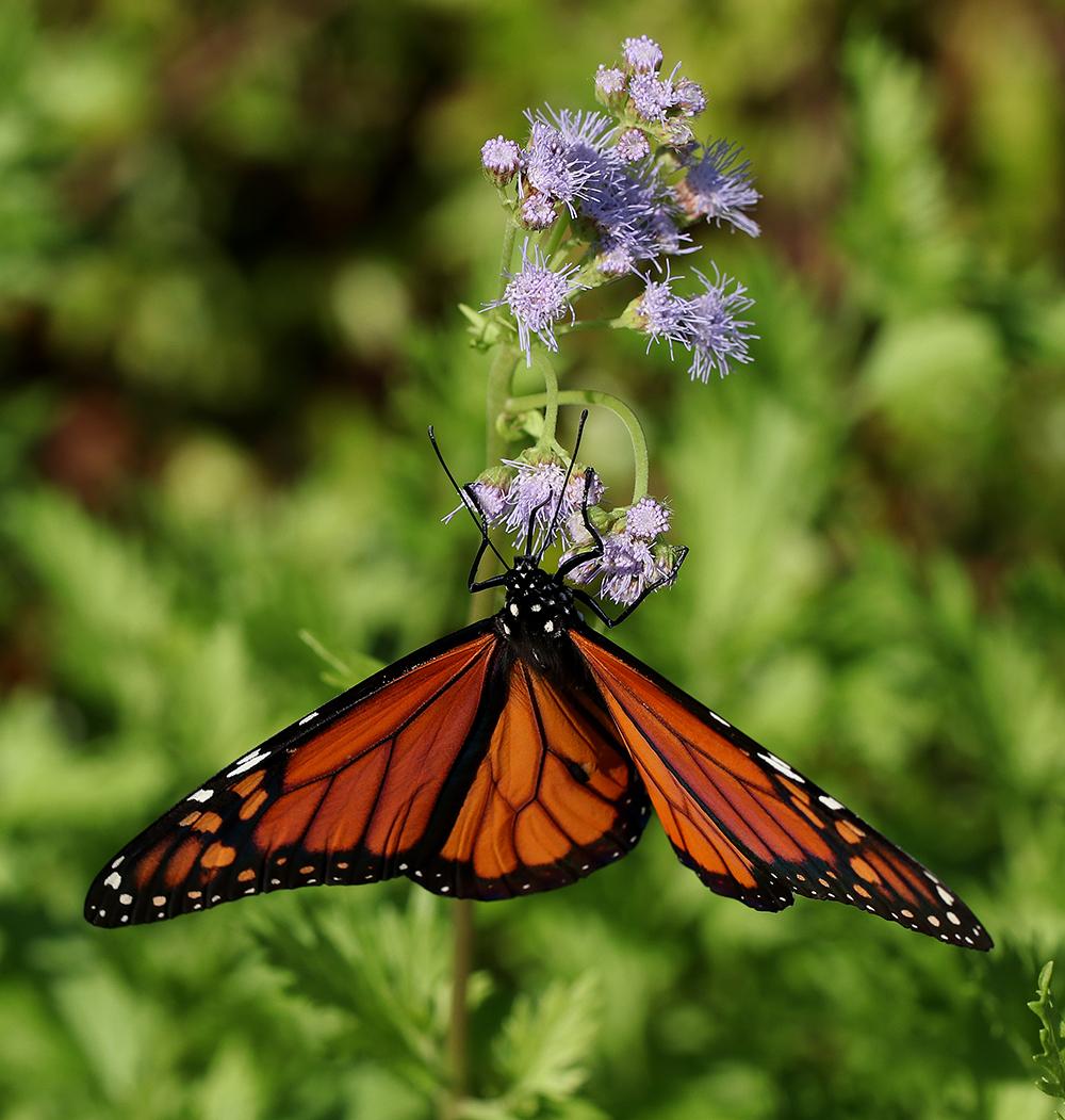 Monarch nectaring on palmleaf thoroughwort.