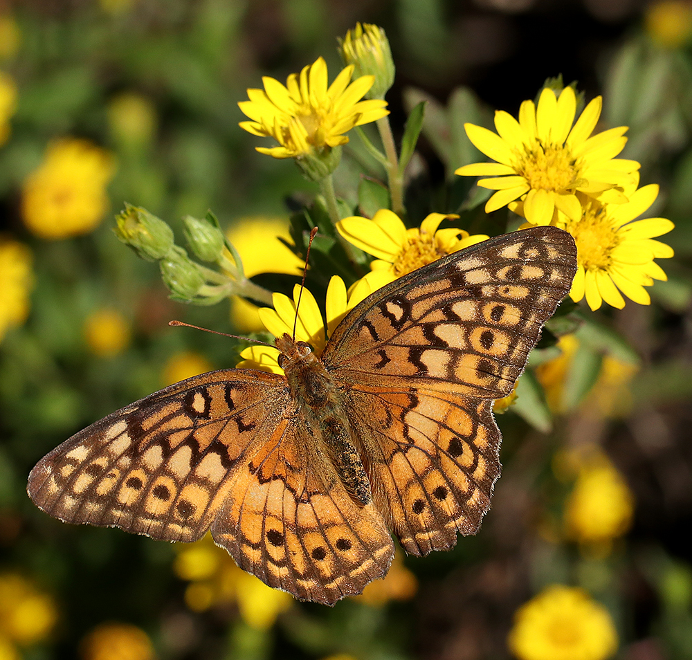Variegated fritillary on Maryland golden aster in early October