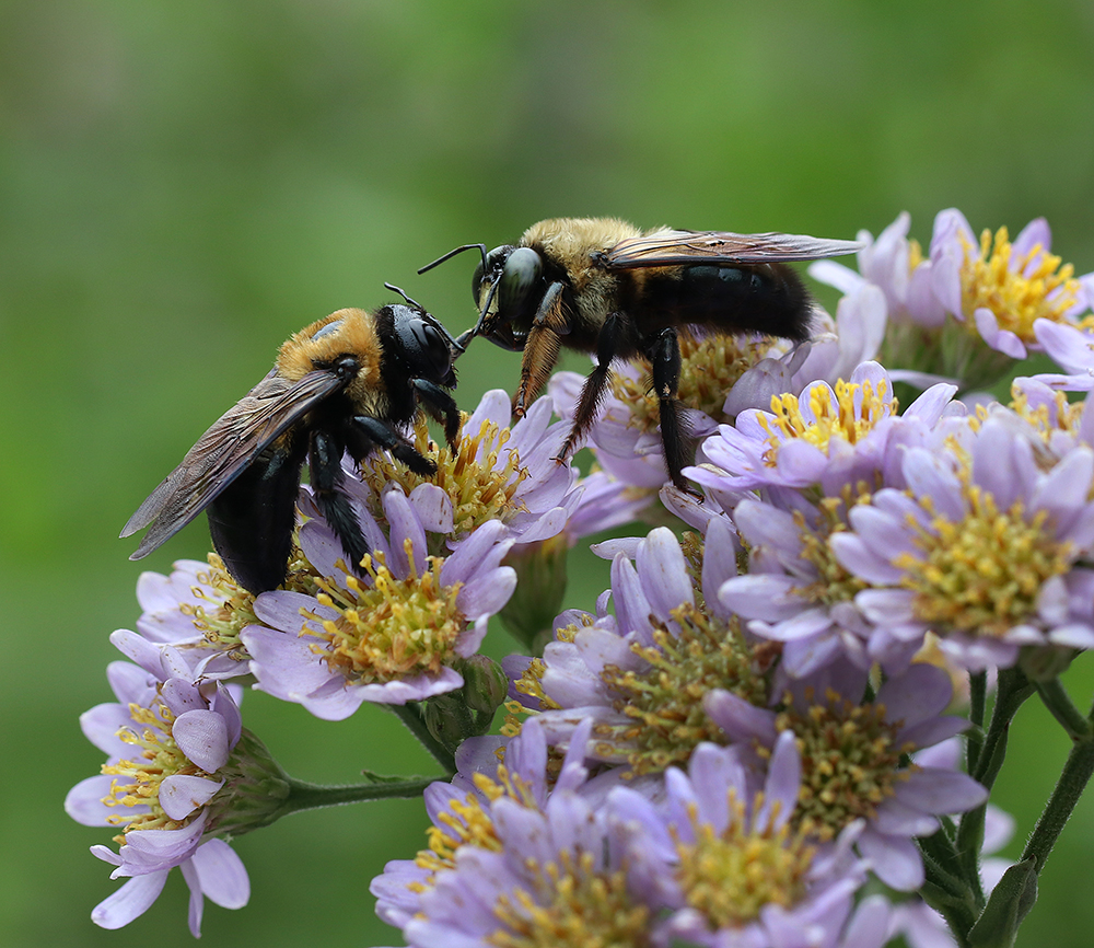 Carpenter bees having a chat on the dwarf Tartarian 'Jin Dai' aster in early October.
