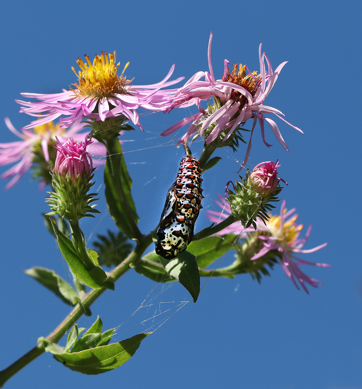 Variegated fritillary chrysalis on climbing aster in mid-October