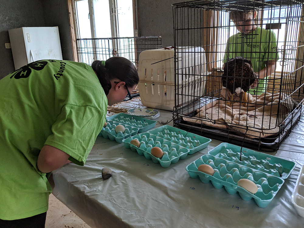 Samantha is grading exterior quality eggs, looking at shape, presence of calcium, dirt, manure, or feathers on the eggs. Grade A is what you buy in the store.