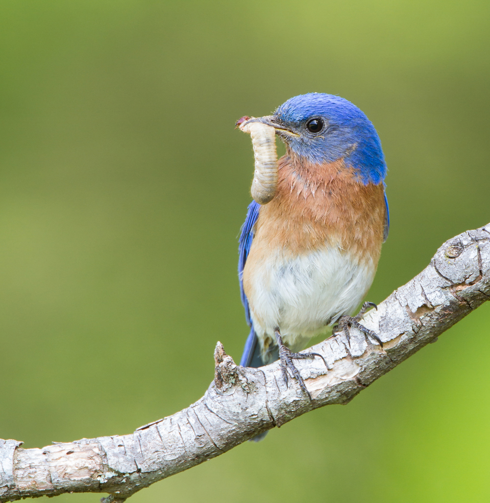Bluebird with grub.